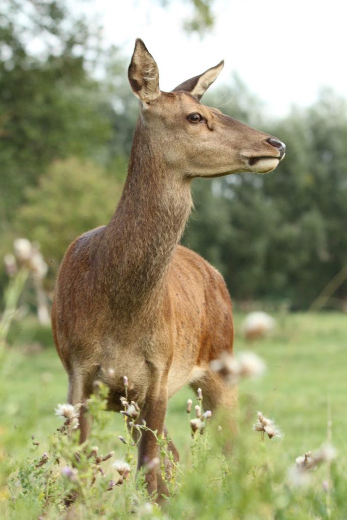 Hirsch, Rotwild, Kuh, Alttier