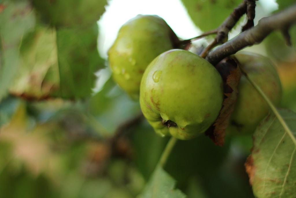 Wassertropfen, Apfel