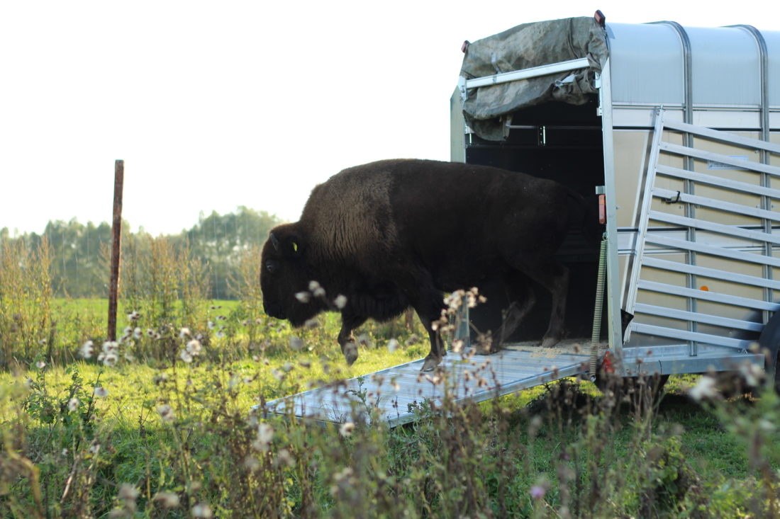 Transport, Bison, Büffel, Lebendtransport