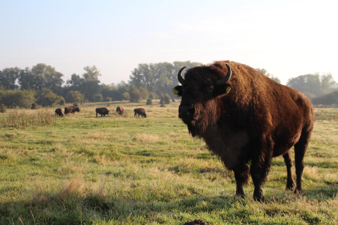 Bisonkuh, Büffelkuh, Büffel, Wiese, Wald, Morgen