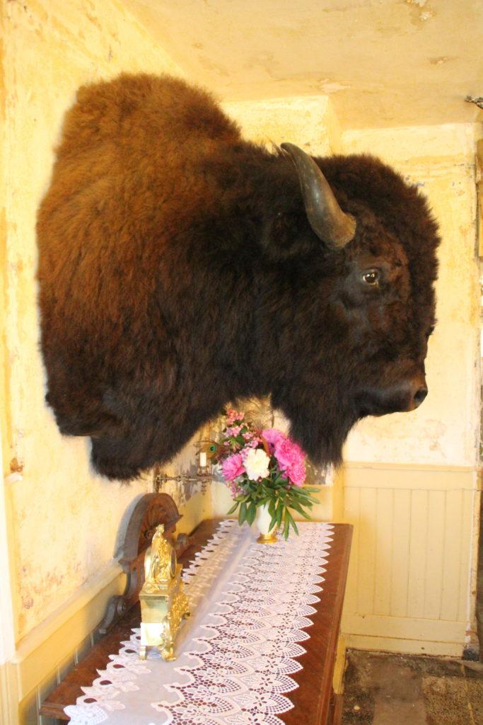 Büffelpräparat Bison präpariert Büffel